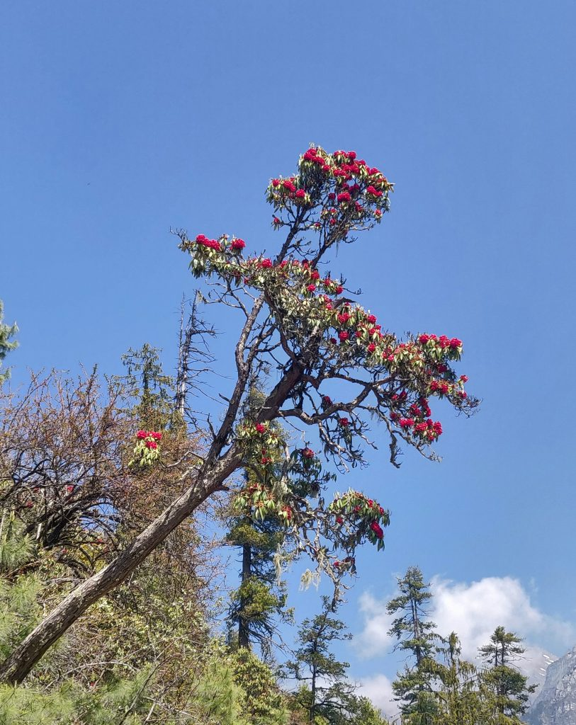 Rhododendrons on on Annapurna Circuit Trek